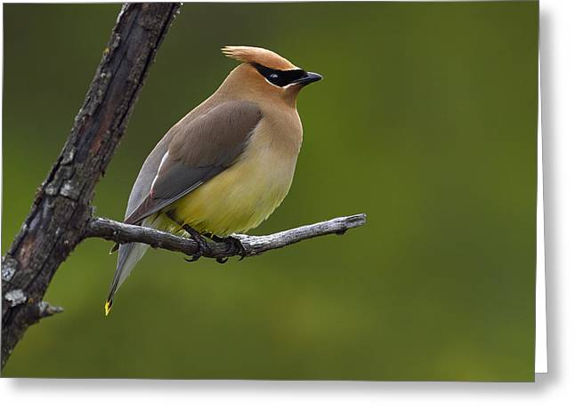 Cedar Waxwing Greeting Cards - Wax On Greeting Card by Tony Beck