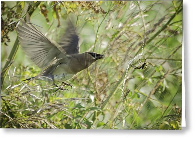 Cedar Waxwing Greeting Cards - Waxwing And The Spider Greeting Card by Thomas Young
