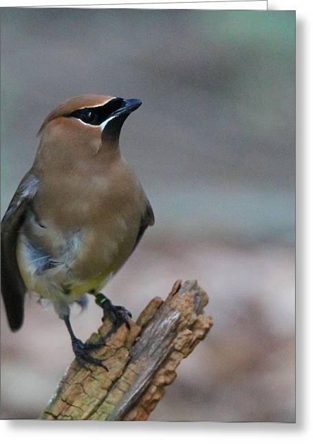 Cedar Waxwing Greeting Cards - Waxwing Greeting Card by Dan Sproul