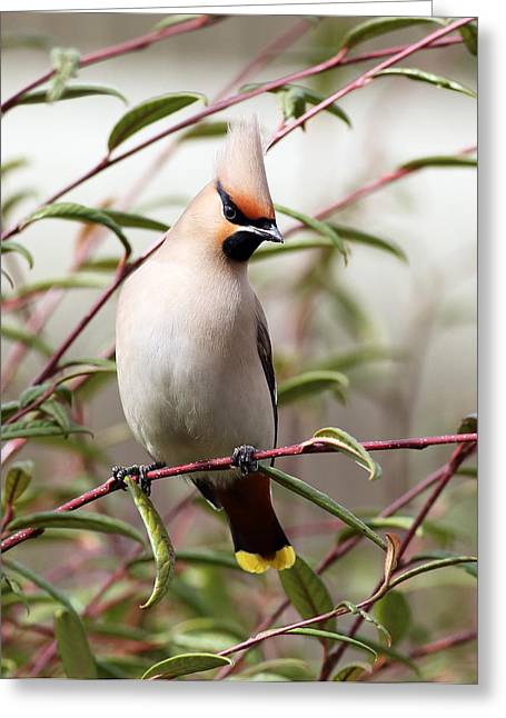 Small Birds Greeting Cards - Waxwing Greeting Card by Grant Glendinning