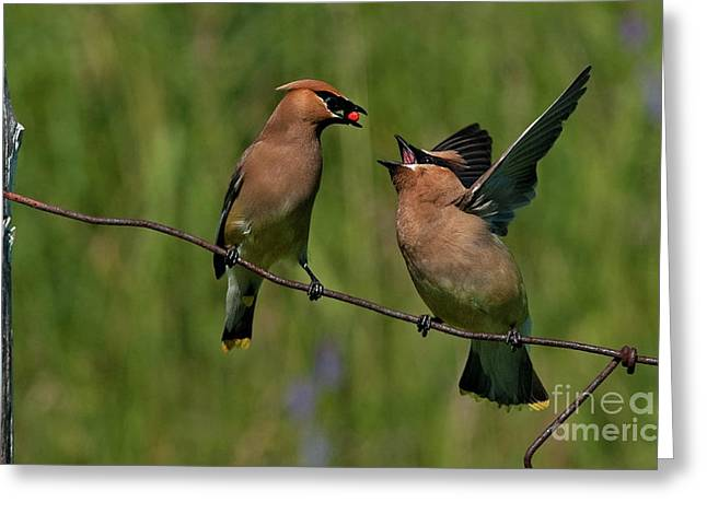 Waxwing Love.. Greeting Card by Nina Stavlund