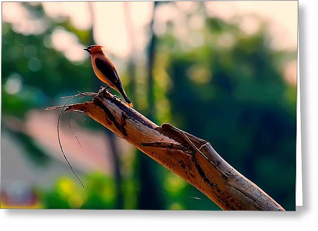 Photos Of Birds Greeting Cards - Waxwing on a tree Greeting Card by Chris Flees