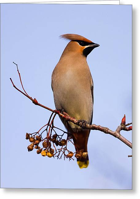 Winter Migrants Greeting Cards - Waxwing Greeting Card by Paul Scoullar