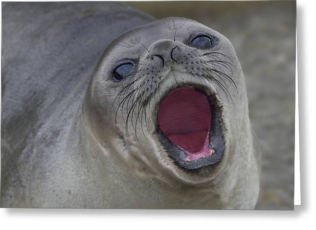 Elephant Seals Greeting Cards - Weaner Warning Greeting Card by Tony Beck