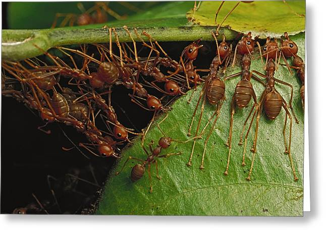 Cooperation Greeting Cards - Weaver Ants Pulling On Leaves Greeting Card by Mark Moffett