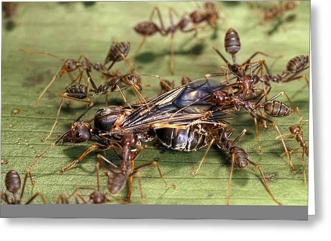 Female Worker Greeting Cards - Weaver ants Greeting Card by Science Photo Library