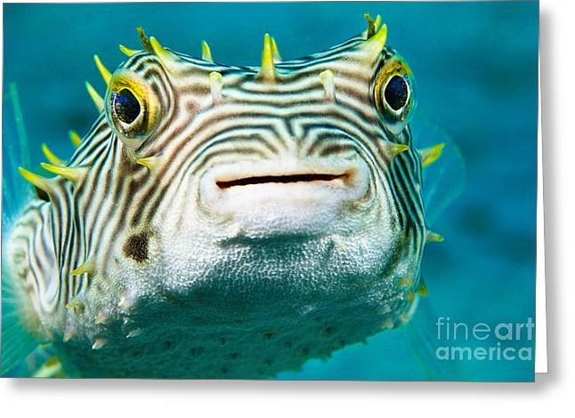Balloonfish Greeting Cards - Web Burrfish Greeting Card by David Fleetham