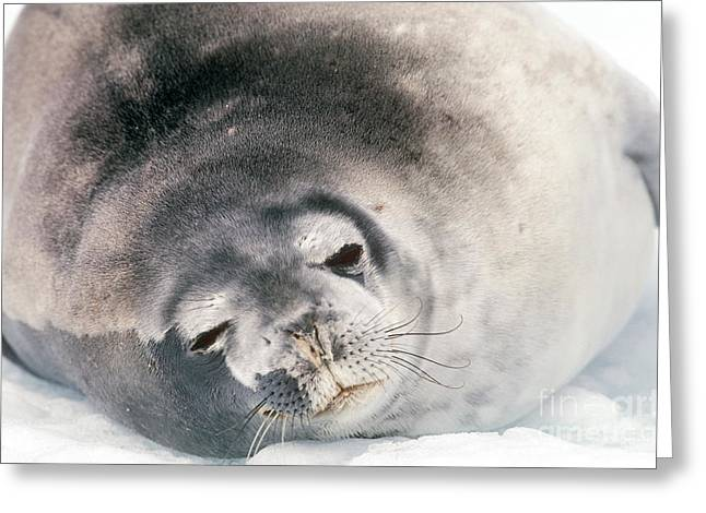 Ocean Mammals Greeting Cards - Weddell Seal Greeting Card by Art Wolfe