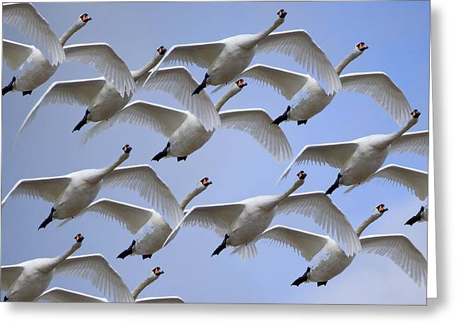 Flying Mute Swan Greeting Cards - Wedge of Swans Greeting Card by PhotoMan Bryan WB
