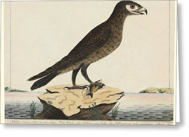 Wedge-tailed Eagle, 18th Century Greeting Card by Natural History Museum, London