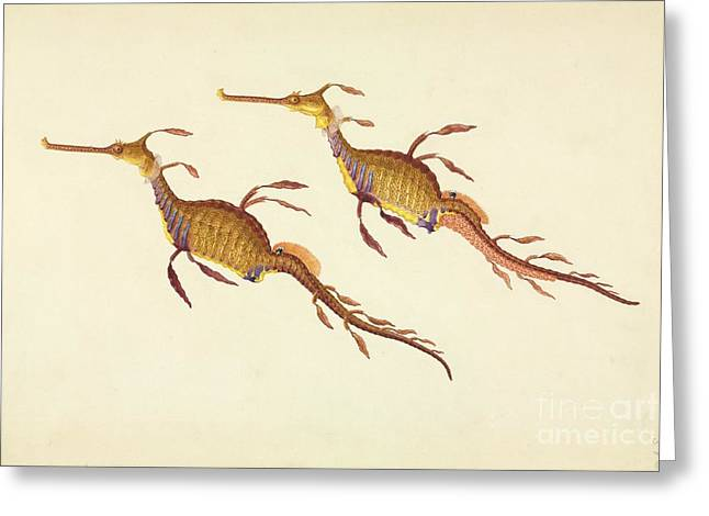 Seadragon Greeting Cards - Weedy Seadragon, 19th Century Greeting Card by Natural History Museum, London