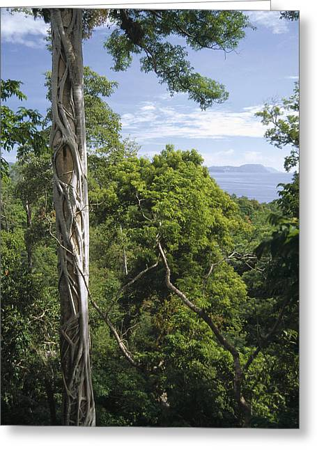 Weeping Greeting Cards - Weeping Fig And Host Natu Tree Sulawesi Greeting Card by Tui De Roy