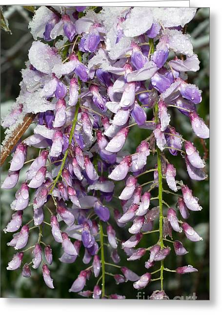 Wisteria Leaves Greeting Cards - Weeping Wisteria - Spring Snow - Ice - Lavender - Flora Greeting Card by Andee Design