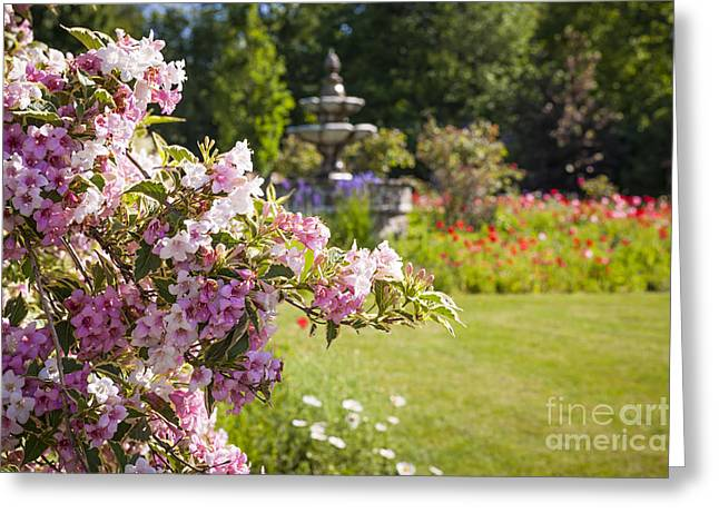 Garden Flowers Photographs Greeting Cards - Weigela in June garden Greeting Card by Elena Elisseeva