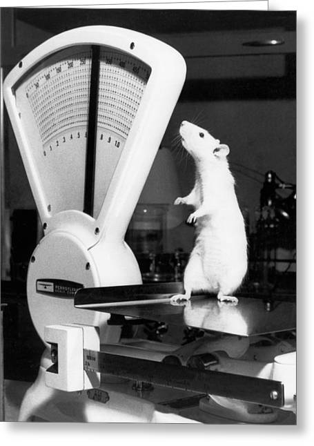 Oak Ridge Greeting Cards - Weight Watcher Lab Rat Greeting Card by Underwood Archives