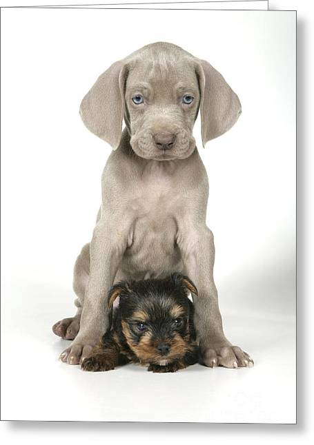 Weimaraner Puppy Greeting Cards - Weimaraner And Yorkie Puppies Greeting Card by John Daniels