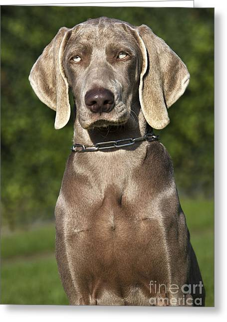 Gray Hair Greeting Cards - Weimaraner Hunting Dog Greeting Card by Johan De Meester