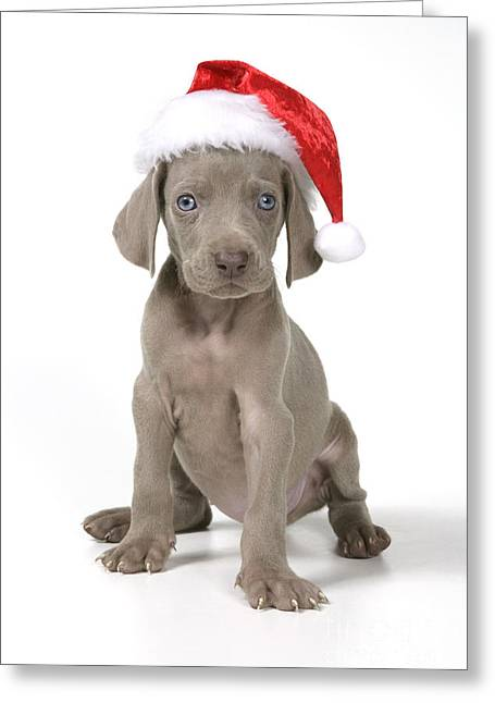 Weimaraner Puppy Greeting Cards - Weimaraner With Christmas Hat Greeting Card by John Daniels