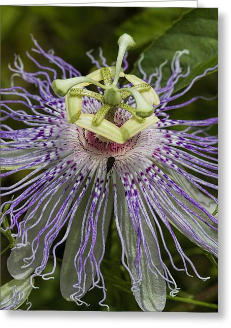Passionflower Greeting Cards - Weird and Wonderful Passion Flower Wildflower Greeting Card by Kathy Clark