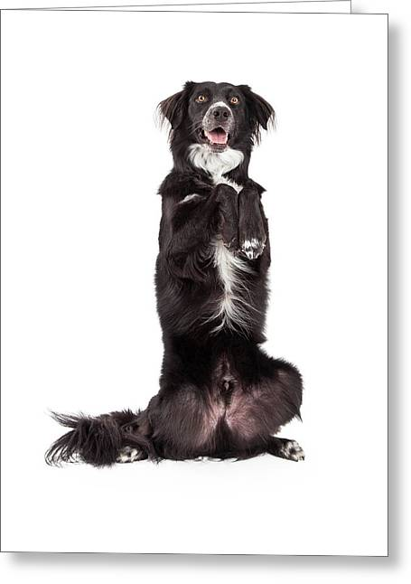 Tricks Greeting Cards - Well Trained Border Collie Mix Breed Dog Begging Greeting Card by Susan  Schmitz