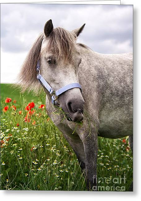 Horse Images Photographs Greeting Cards - Welsh Pony Lulu Greeting Card by Angela Doelling AD DESIGN Photo and PhotoArt