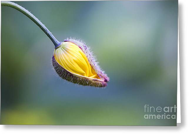Emerging Greeting Cards - Welsh Poppy Bud Opening Greeting Card by Tim Gainey