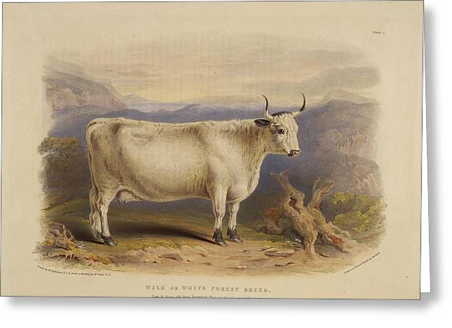West Highland Breed Greeting Card by British Library