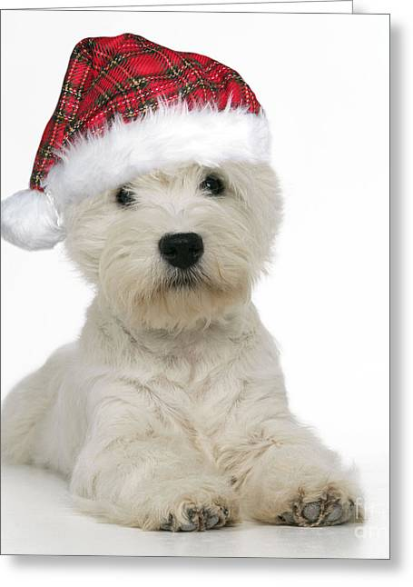 Quirky Greeting Cards - West Highland Terrier Dog Greeting Card by John Daniels