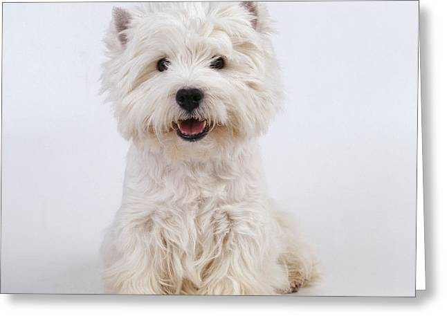 West Highland White Terrier Greeting Cards - West Highland White Terrier Dog Greeting Card by John Daniels