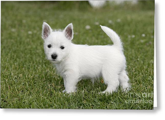 Westie Pups Greeting Cards - West Highland White Terrier Puppy Greeting Card by Rolf Kopfle