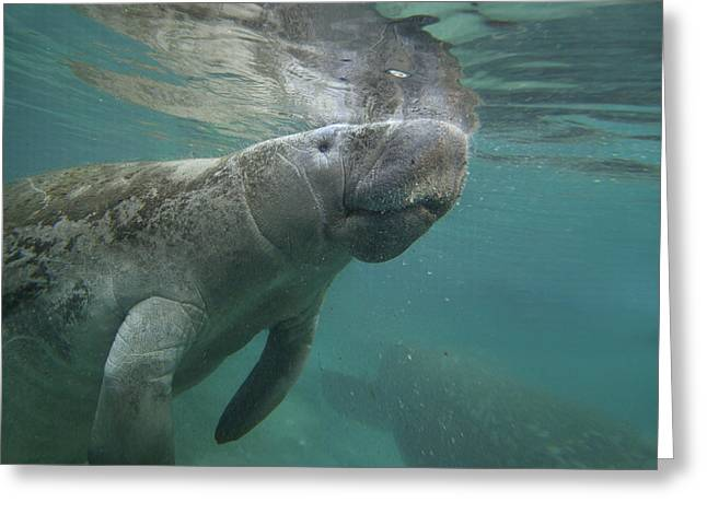 West Indian Manatee Crystal River Greeting Card by Tim Fitzharris