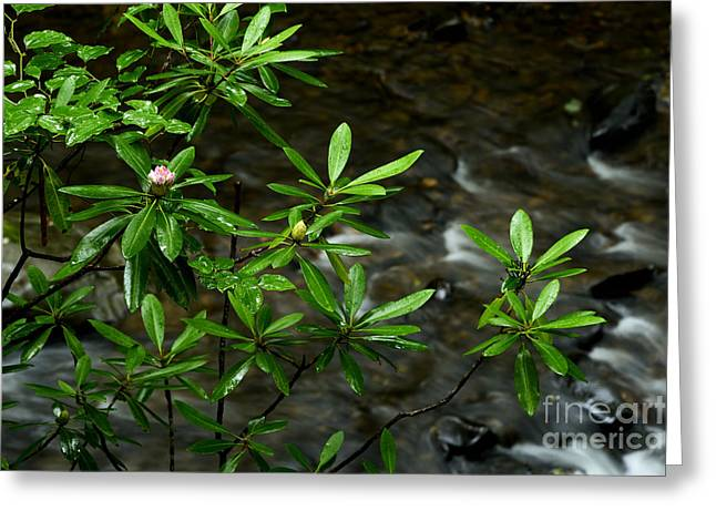 Rhododendron Maximum Greeting Cards - West Virginia State Flower Greeting Card by Thomas R Fletcher