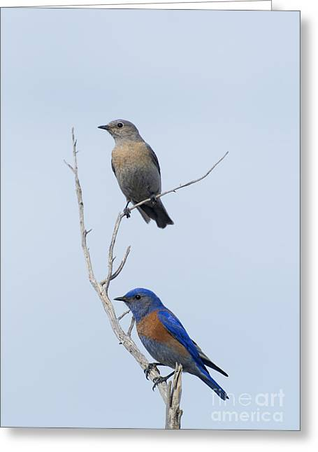 Mate Greeting Cards - Western Bluebird Pair Greeting Card by Mike  Dawson