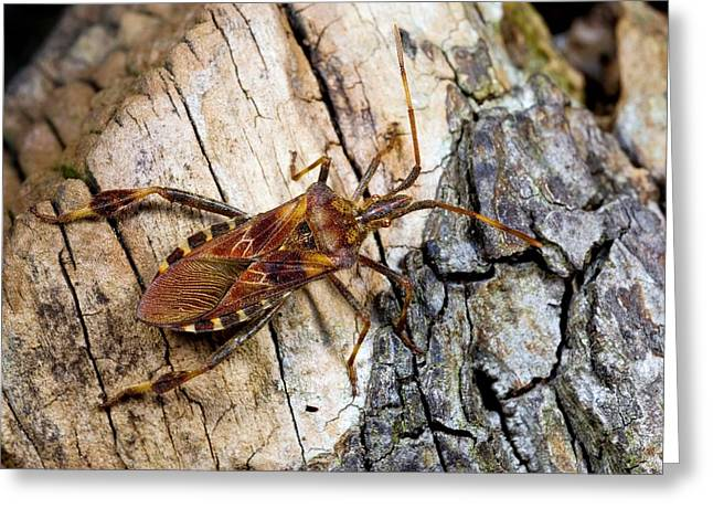 From Seed Greeting Cards - Western conifer seed bug Greeting Card by Science Photo Library