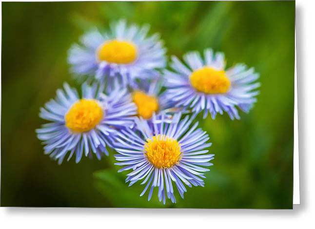 Daiseys Greeting Cards - Western Daisies Asters Glacier National Park Painted Greeting Card by Rich Franco