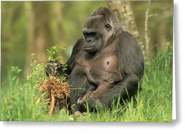 Western Gorilla And Young Greeting Card by M. Watson