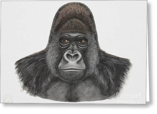 Orangutan Drawings Greeting Cards - Western Gorilla - Gorilla gorilla - Gorille de louest - gorila occidental - ocidente - occidentale  Greeting Card by Urft Valley Art