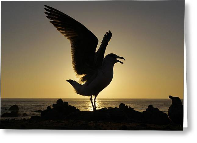 Us Open Photographs Greeting Cards - Western Gull Stretching At Sunset Greeting Card by Hiroya Minakuchi