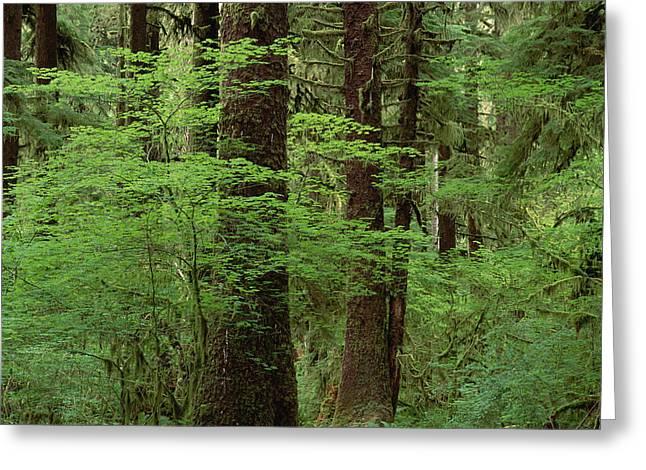 Old Western Photos Greeting Cards - Western Hemlock In Old Growth Rainforest Greeting Card by Gerry Ellis