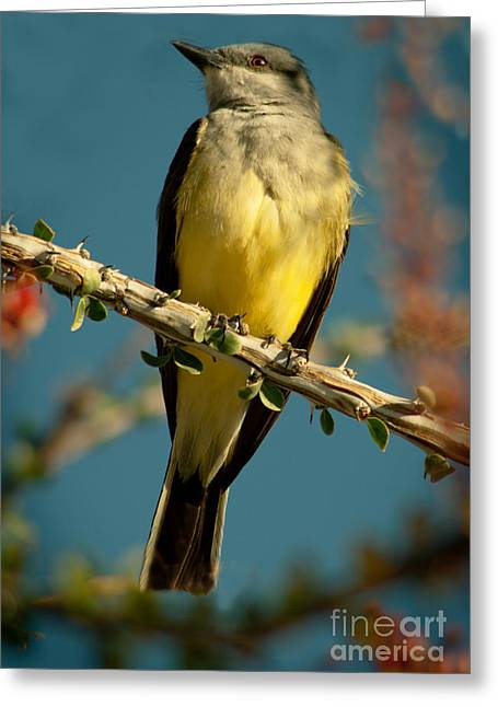 Tyrant Greeting Cards - Western Kingbird Greeting Card by Robert Bales