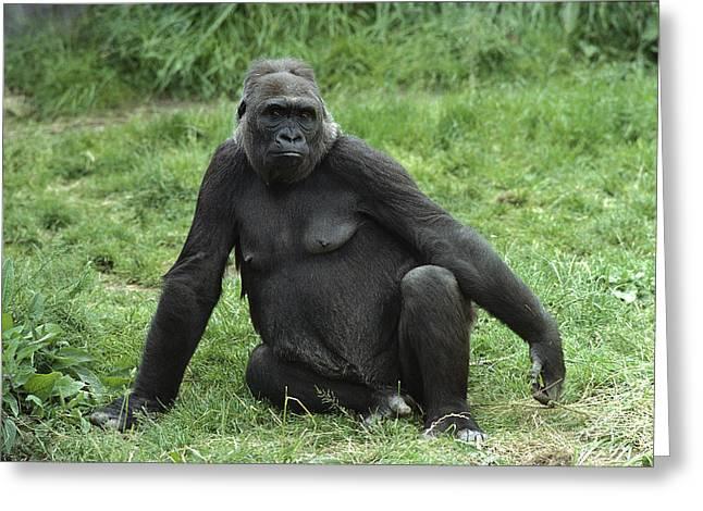 Western Lowland Gorilla Female Greeting Card by Gerry Ellis