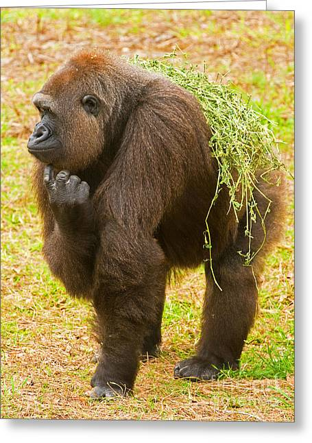 Critically Endangered Species Greeting Cards - Western Lowland Gorilla Female Greeting Card by Millard H. Sharp