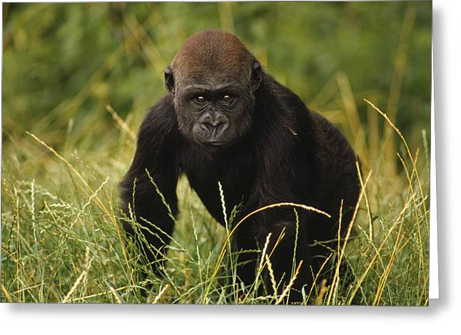 Western Lowland Gorilla Juvenile Greeting Card by Gerry Ellis