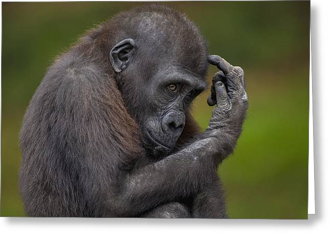 Emoting Greeting Cards - Western Lowland Gorilla Juvenile Greeting Card by Zssd