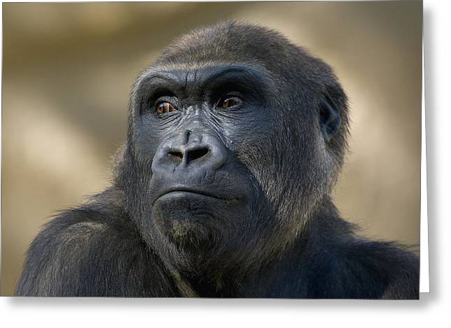 Critically Endangered Species Greeting Cards - Western Lowland Gorilla Portrait Greeting Card by San Diego Zoo