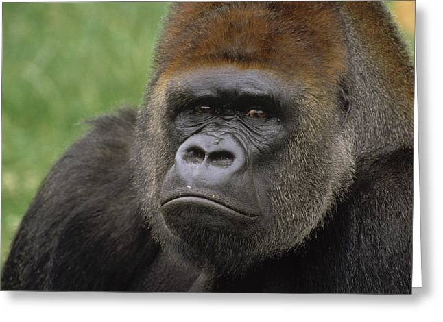 Critically Endangered Animals Greeting Cards - Western Lowland Gorilla Silverback Greeting Card by Gerry Ellis