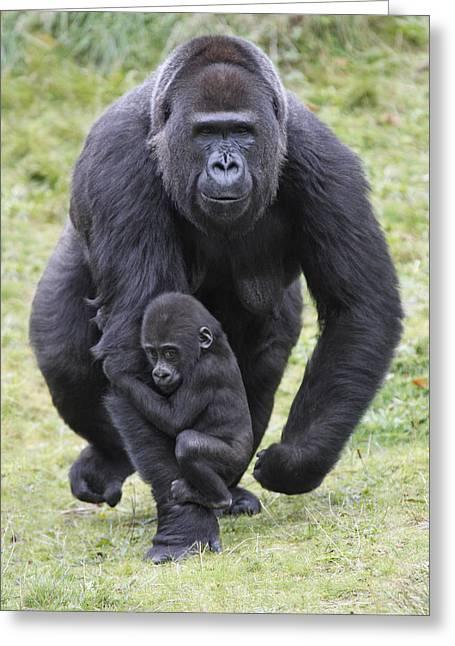 Western Lowland Gorilla Walking Greeting Card by Duncan Usher