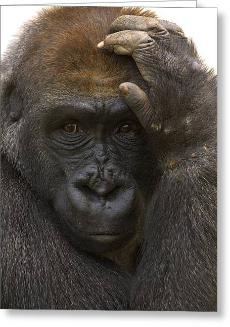 Western Lowland Gorilla With Hand Greeting Card by San Diego Zoo