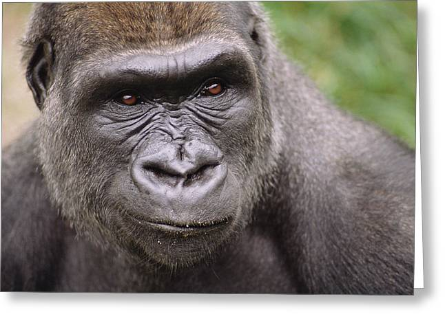 Western Lowland Gorilla Young Male Greeting Card by Gerry Ellis