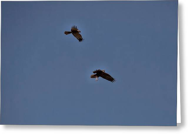 Fineartamerica Greeting Cards - Western Marsh Harrier  Leif Sohlman Greeting Card by Leif Sohlman